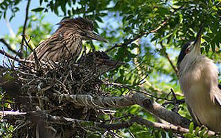dzs-conservation--birds-black-crowned-night-herons