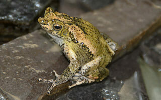 Frogs/Toads SSP