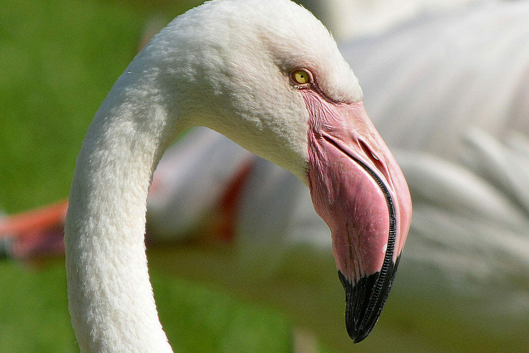 Detroit Zoo - Greater Flamingo - Photo by Roy Lewis