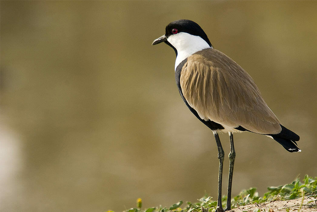 Detroit Zoo - Spur-winged Plover